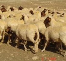 Moutons du Moyen Atlas au Maroc